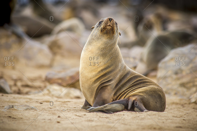 Portrait of a cape fur seal (pinnipedia) amidst the thousands of seals in the Cape Cross Seal Reserve along the Skeleton Coast; Cape Cross, Namibia