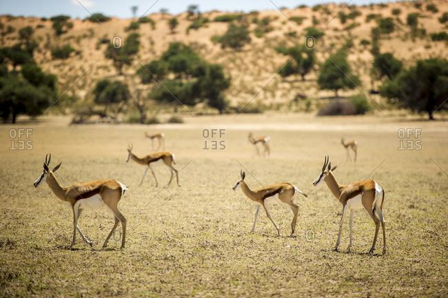 Springbok (Antidorcas marsupialis) roaming together through the Khalagadi Transfrontier Park; South Africa