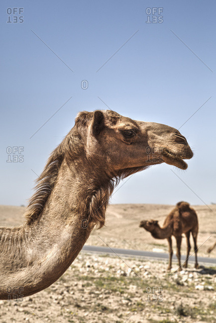 Camels near the Dead Sea; Jordan