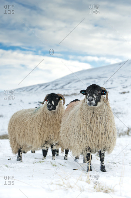 Flock of Dalesbred sheep on snowy moorland, near Penyghent; North Yorkshire, England