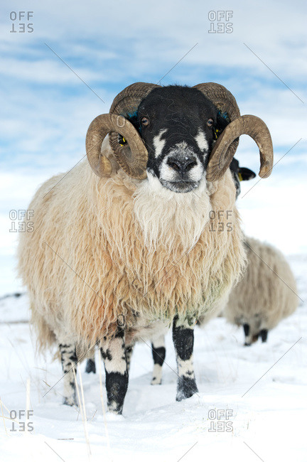 Dalesbred ram on moorland in snow; North Yorkshire, England