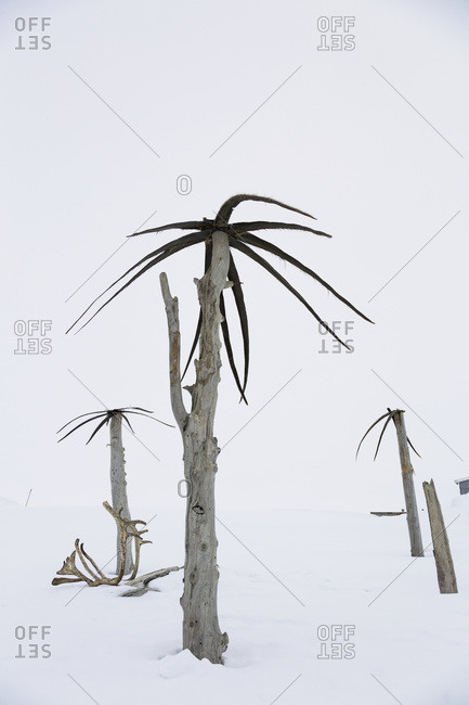 Makeshift palm trees made from dead tree Trunks and whale baleen decorate snowbanks outside a Barrow home, Barrow, North Slope, Arctic Alaska, USA, Winter