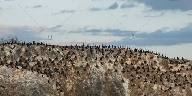 Numerous black birds sitting on a rocky landscape; Lake of the Woods, Ontario, Canada