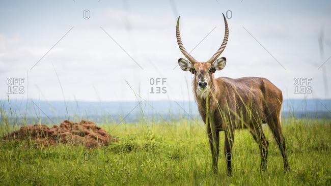 Antelope, Murchison Falls National Park; Uganda