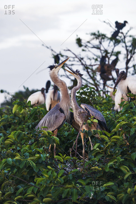 Great blue heron (ardea herodias), Wakodahatchee wetlands; Florida, United States of America