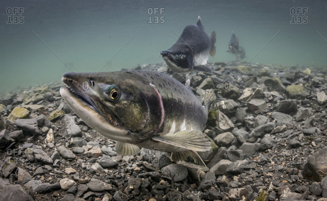 Pink Salmon (Oncorhynchus gorbuscha) probes her redd in an Alaskan intertidal stream during summer.