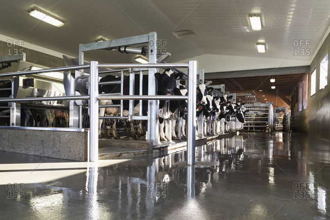 Parallel 16 milking parlour with cows being milked; Dewdney, British Columbia, Canada