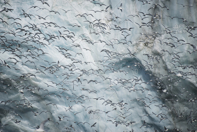 Mass of kittiwakes flying past ice cliff; Spitsbergen, Svalbard, Norway
