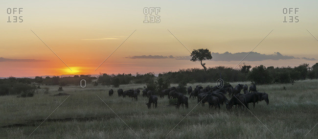 A herd of wildebeest (Connochaetes taurinus) migrates on the African savannah as the sun goes down in an orange glow, a single acacia tree stands out on the horizon; Narok, Kenya