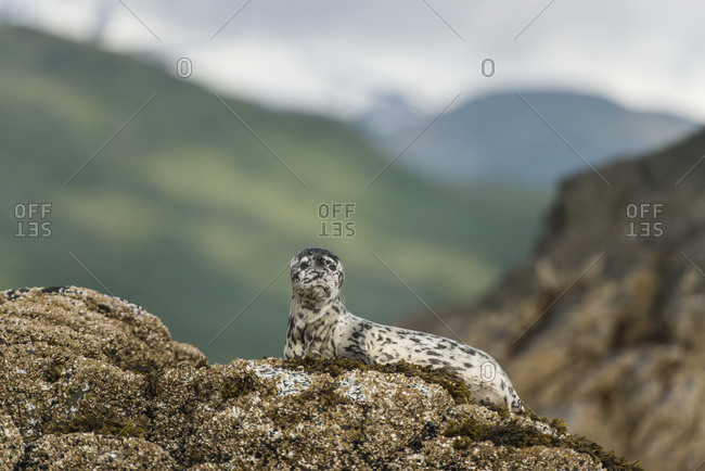 Harbor seal pup on rock in Kukak Bay, Katmai National Park and Preserve, Alaska