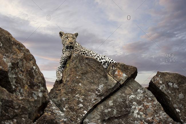 A leopard lying on a boulder, Madikwe Game Reserve