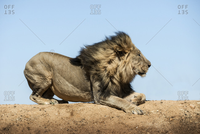 A male lion resting, Madikwe Game Reserve