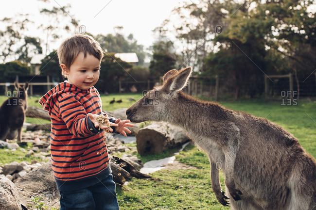 Little boy hand feeding a kangaroo