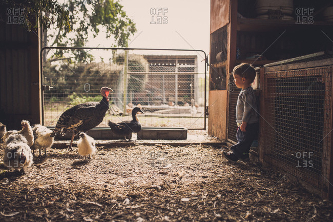 Toddler boy standing in a barn with birds