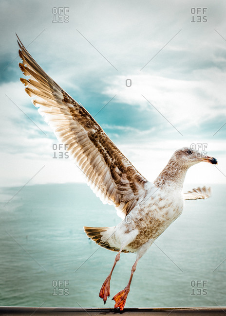 Portrait of a gull with wings spread