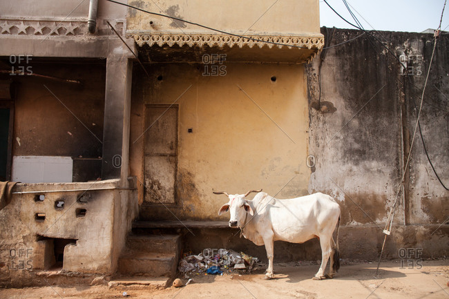 White cow outside a building in India