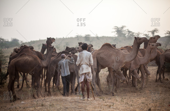 Men corralling group of camels in India