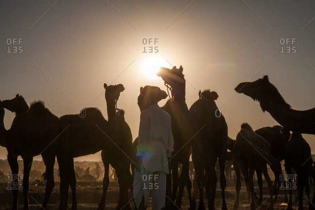 Camels and herder silhouetted at dusk