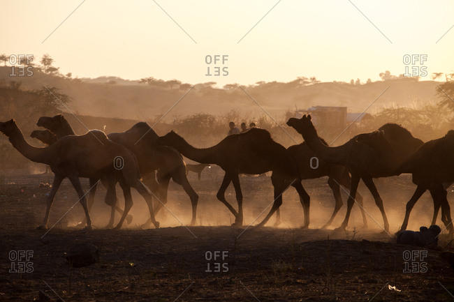 Camels silhouetted in field at dusk
