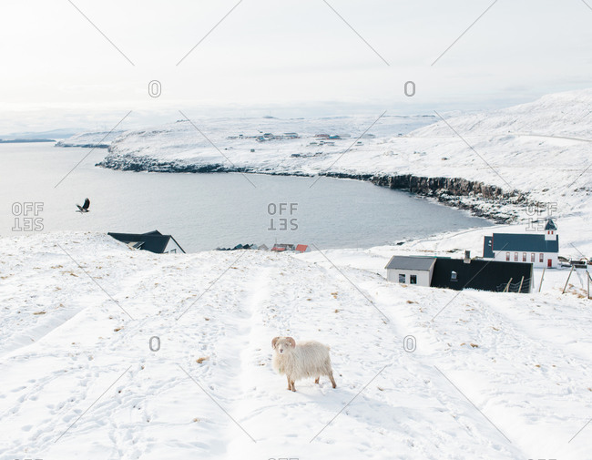 A Faroe ram stands on the edge of a snowy field in the Faroe Islands
