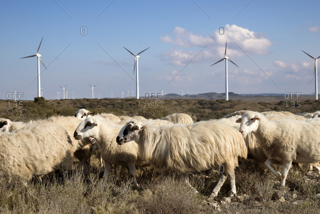 Sheep on wind farm against sky