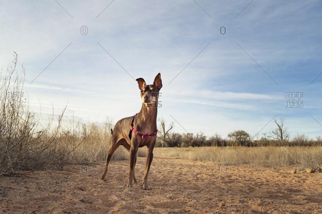 Brown Miniature Pinscher standing on field against sky