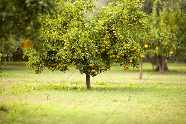 Fruit tree in rural field