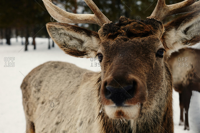 Close up of reindeer in snow