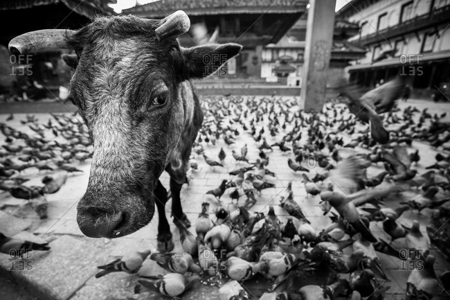 Flock of pigeons and a cow in Durbar Square in Kathmandu, Nepal