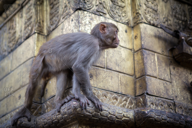 Monkey climbing on a temple wall in Nepal