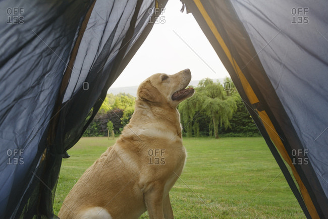Labrador Retriever sitting in front of tent