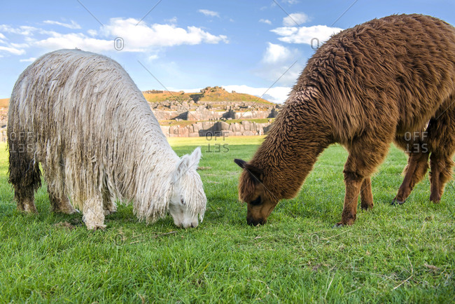 Peru, Cusco, two grazing llamas with Saksaywaman in the background