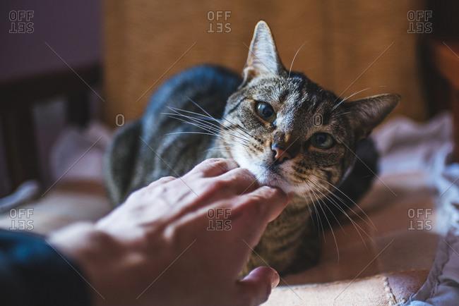 Man's hand stroking tabby cat