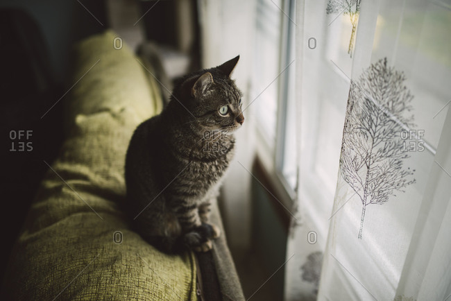Tabby cat sitting on backrest of the couch looking through window