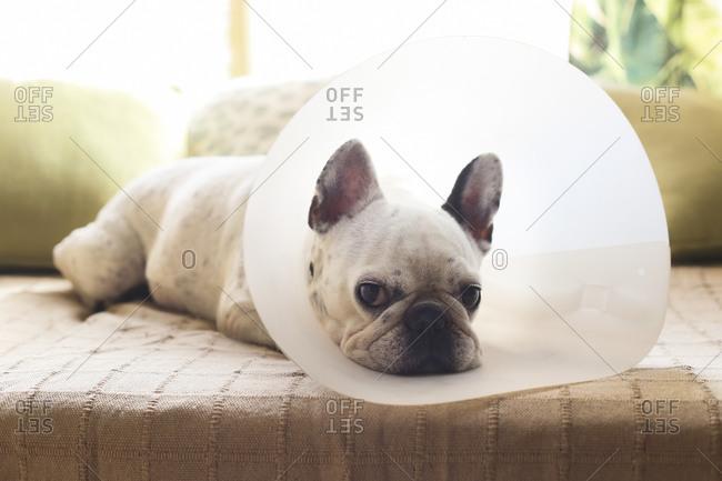 French bulldog with medical collar