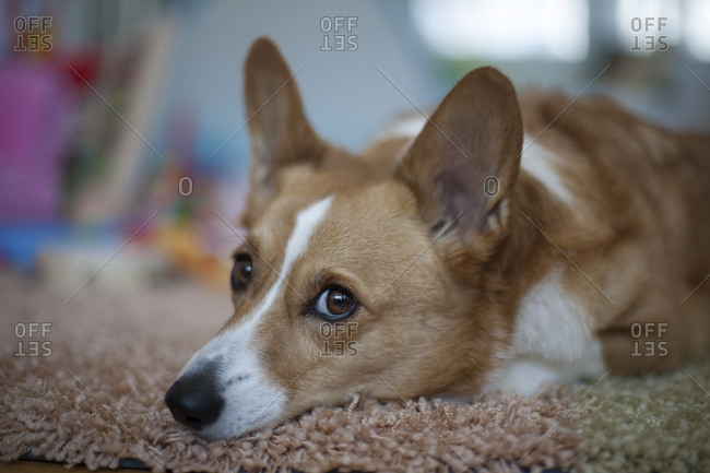 Portrait of a Corgi dog resting on rug