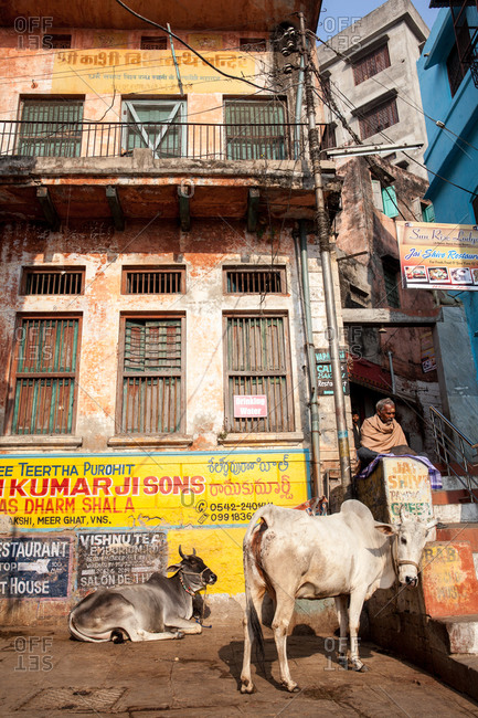 Varanasi, India - February 4, 2016: Two cows in front of a building in Varanasi, India