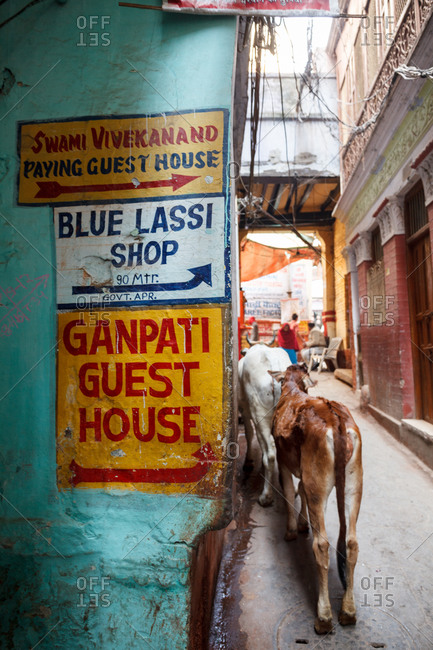 Varanasi, India - February 4, 2016: Signs on wall next to alley with two cows