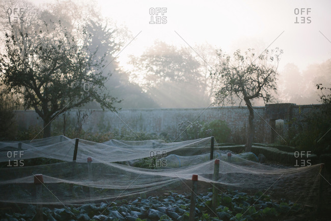 Nets covering plants in walled kitchen garden on foggy morning