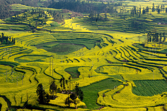 View of field terraces with blooming oil seed rape plants in valley, Luoping, Yunnan, China