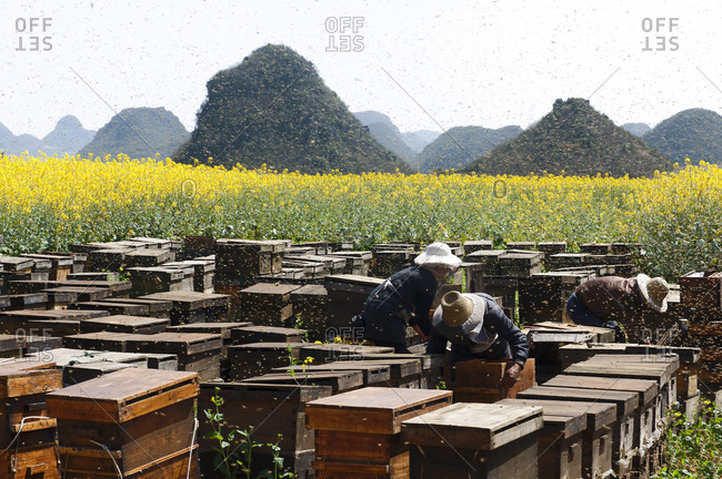 Swarms of bees and three beekeepers working next to fields with yellow blooming oil seed rape plants, Luoping, Yunnan, China