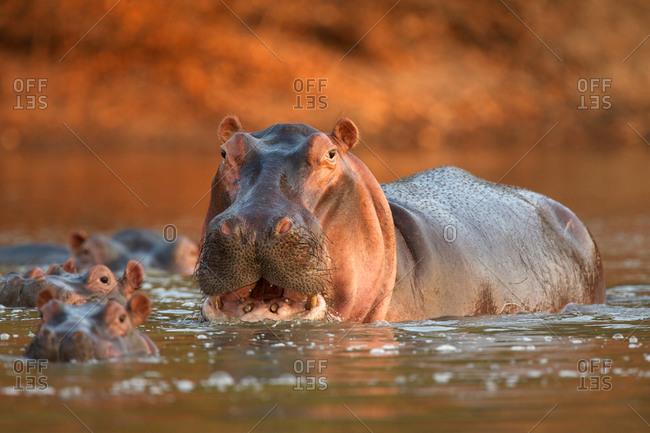Alert hippopotamus (hippopotamus amphibious), Mana Pools National Park, Zimbabwe