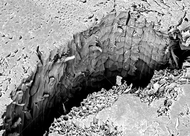 Micro structure of a fracture of Lacewood, imaged in a scanning electron microscope
