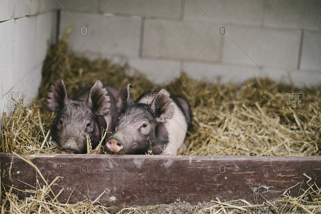 Two piglets lying down together in a bed of hay straw