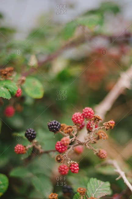 Berries growing on a branch