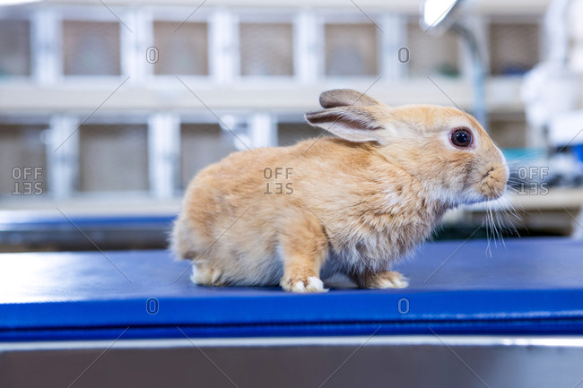 A rabbit on an operation table in a vet office