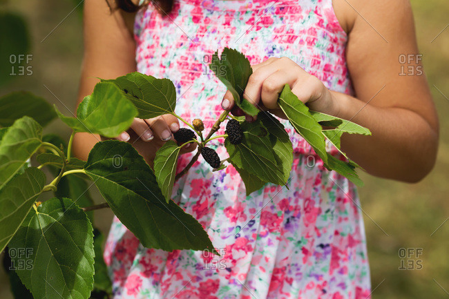 Little girl holding the branch of a mulberry tree