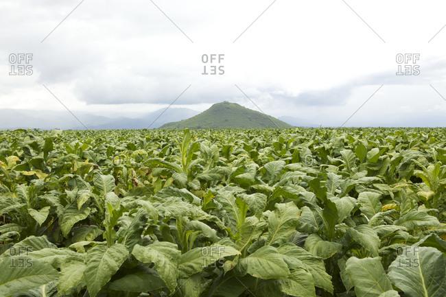 Tobacco fields in Salta, Argentina