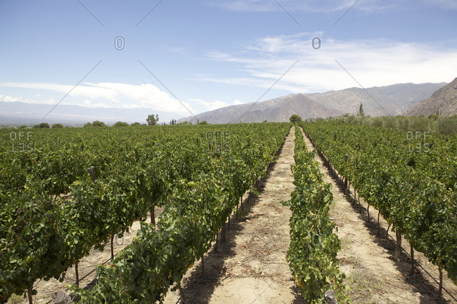 Rows of vines in a vineyard, Cafayate, Argentina