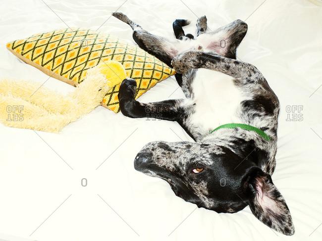 Rat terrier lying on back on a white blanket